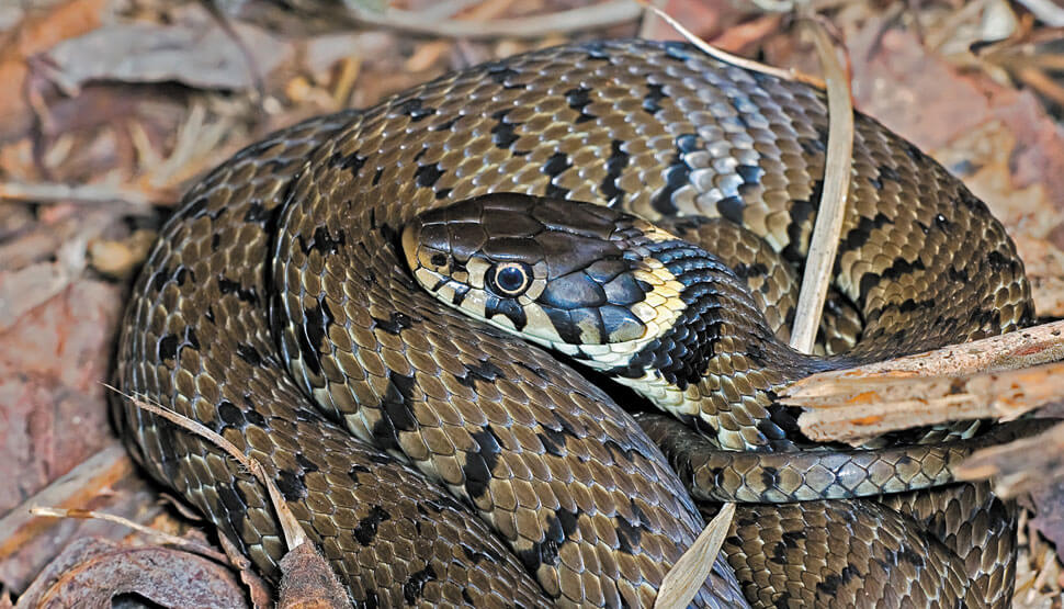 Derbyshire Grass Snake