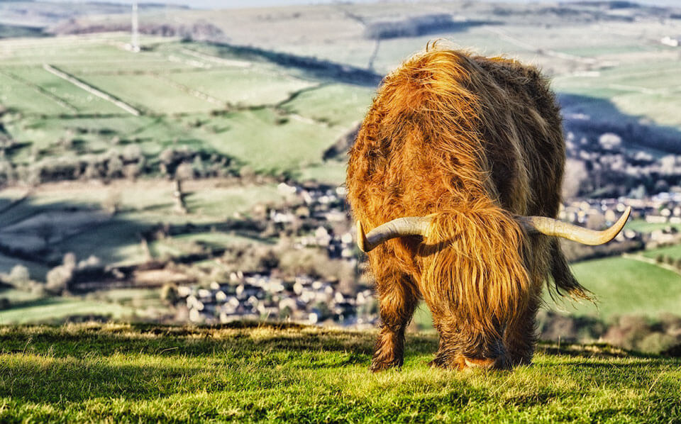 Highland-Cattle-Stanage-Edge