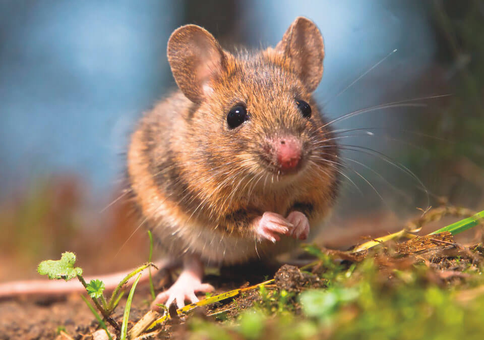 garden mouse