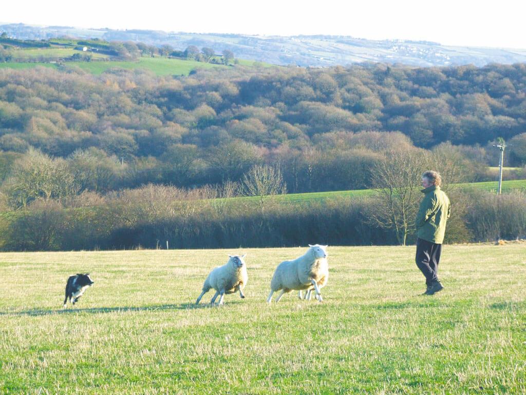 sheep training,
