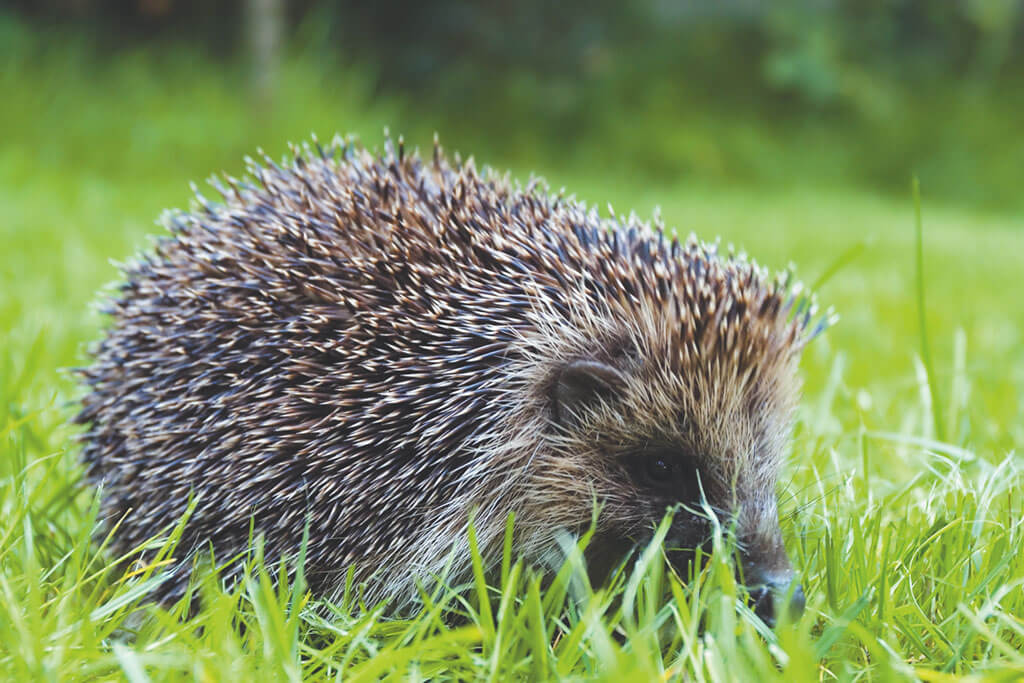derbyshire wildlife, hedgehogs,