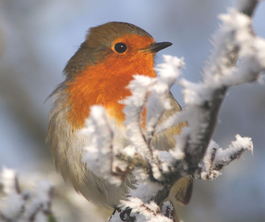 Tony Clarke, Robin, derbyshire wildlife, derbyshire birds,