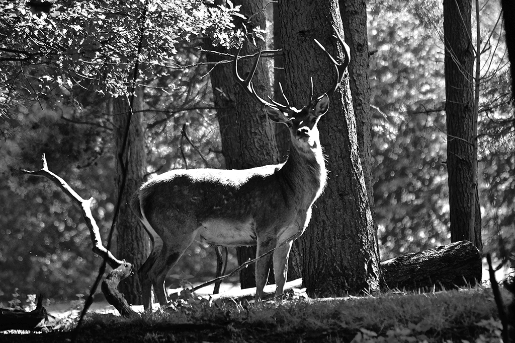 Anja Farmery, stag photograph, derbyshire photography, photography competition, photography competition derbyshire, derbyshire photos, derbyshire photography,