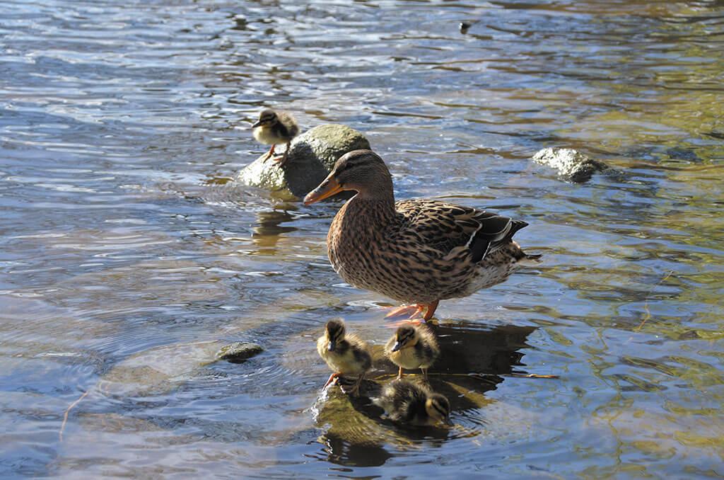 Ducks-Janice-Dyson