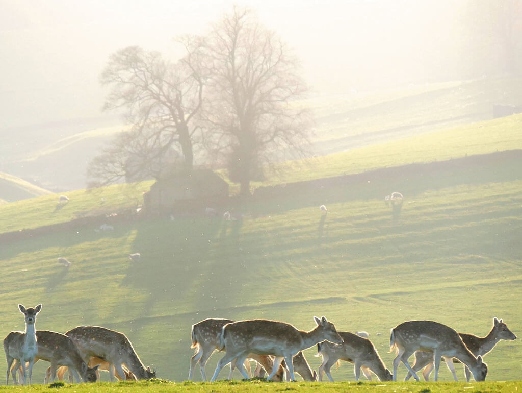 deer, nature photography,