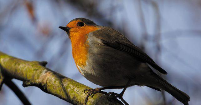 Derbyshire Robin
