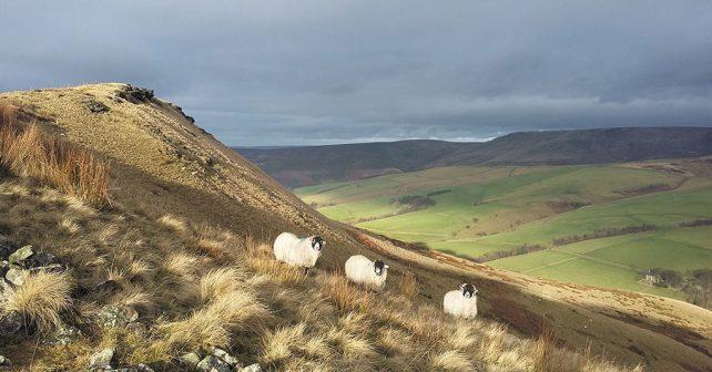 Sunlit-sheep-on-Mount-Famine
