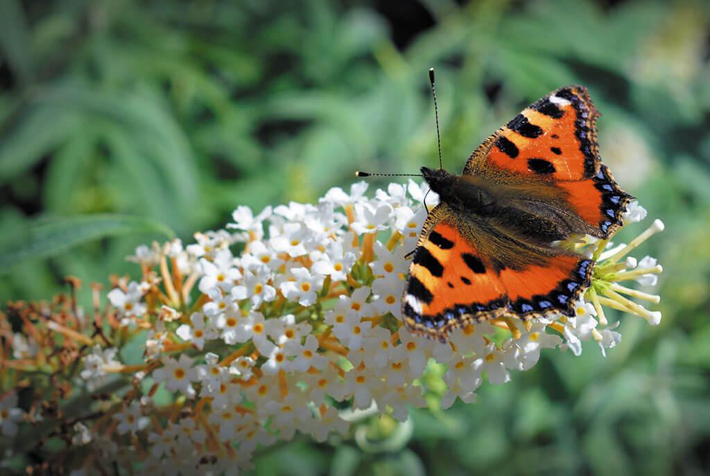 butterfly, derbyshire wildlife,