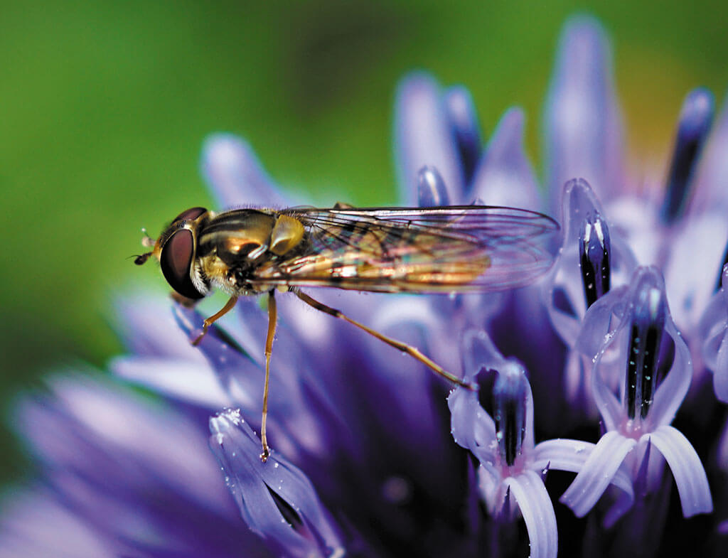 Maycock-Hover-fly